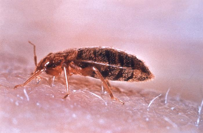 What Do Bed Bugs Look Like Bed Bug Rash Treatment And