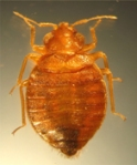 What Do Bed Bugs Look Like: Bed Bug Top