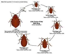 What Do Bed Bugs Look Like: Bed Bug Life Cycle
