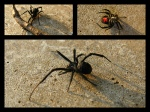 Other Pests: Black Widow Spider